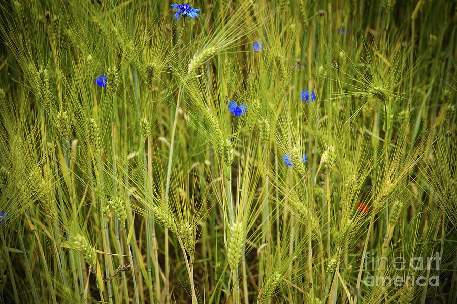 Field Of Wheat Photograph