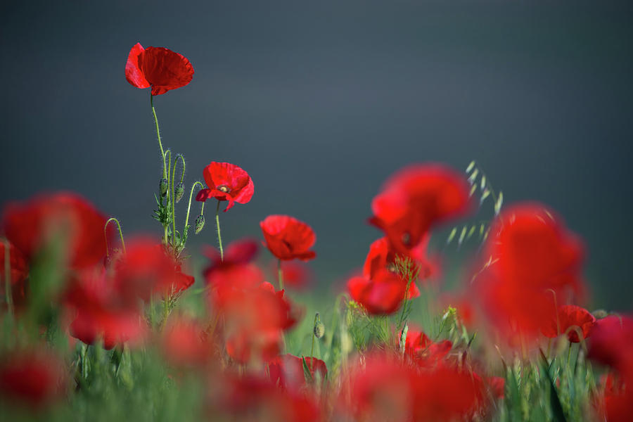 Field Of Wild Red Poppies 1 by Vlad Sokolovsky