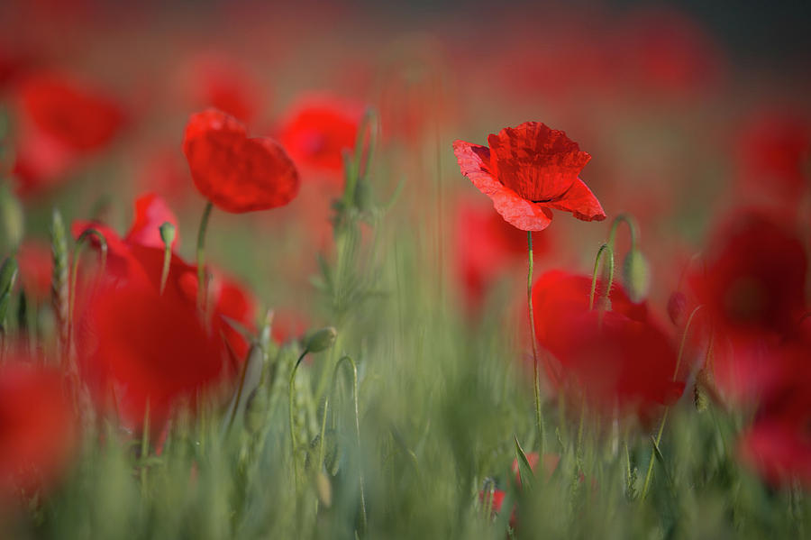 Field Of Wild Red Poppies by Vlad Sokolovsky