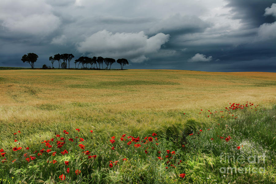 Nature Photograph - Field With Poppies And Trees. Horizontal by Vicente Sargues