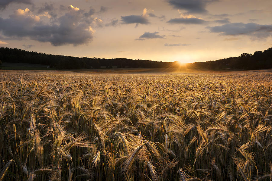 Field Photograph - Fields Of Gold by Christian Lindsten