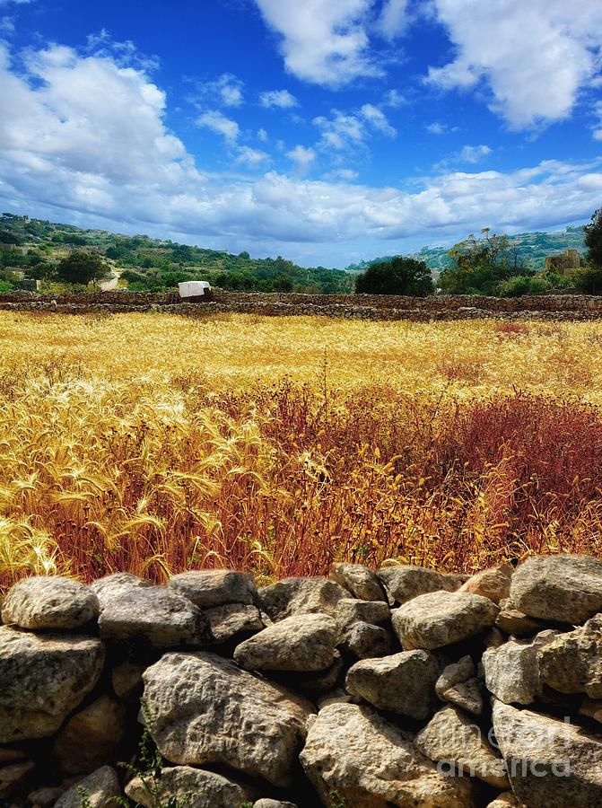 Fields of Gold in Malta - Maltese landscape photograph by Stephan Grixti