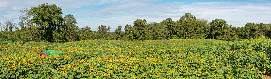 Fields of Sunflower Gold Pano by Kristia Adams