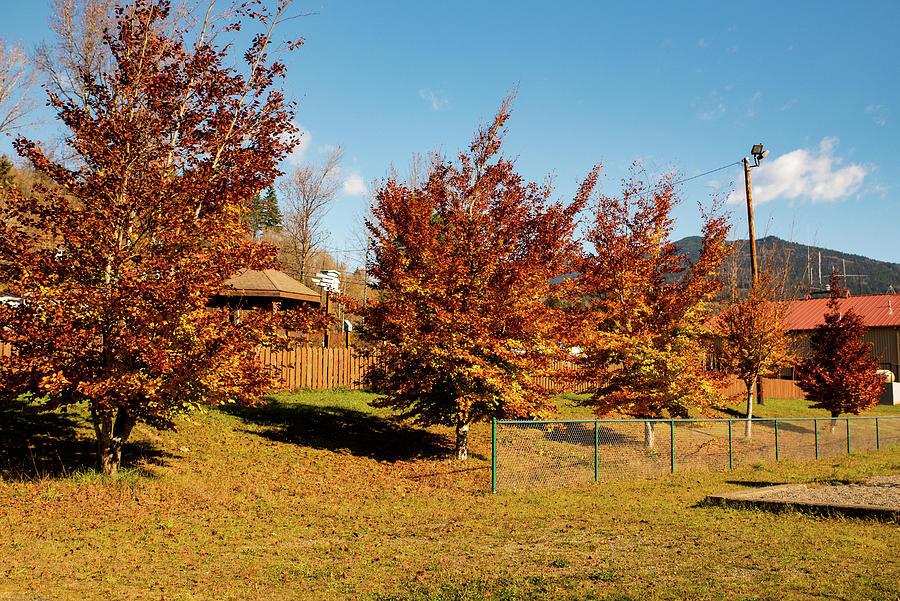 Fiery Birch Trees by Tom Cochran