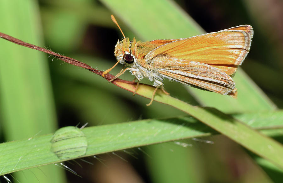 Fiery Skipper on Grass by Larah McElroy