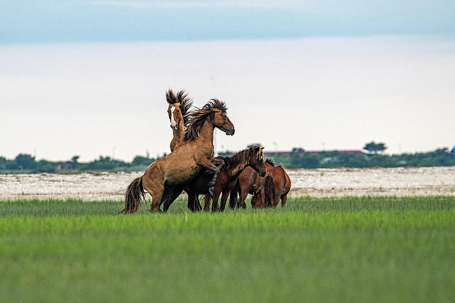 Fight Starts As One Stallion Tries To Mate Photograph