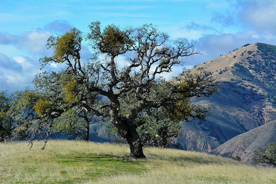 Lone Tree Figueroa Mountain by Kyle Hanson