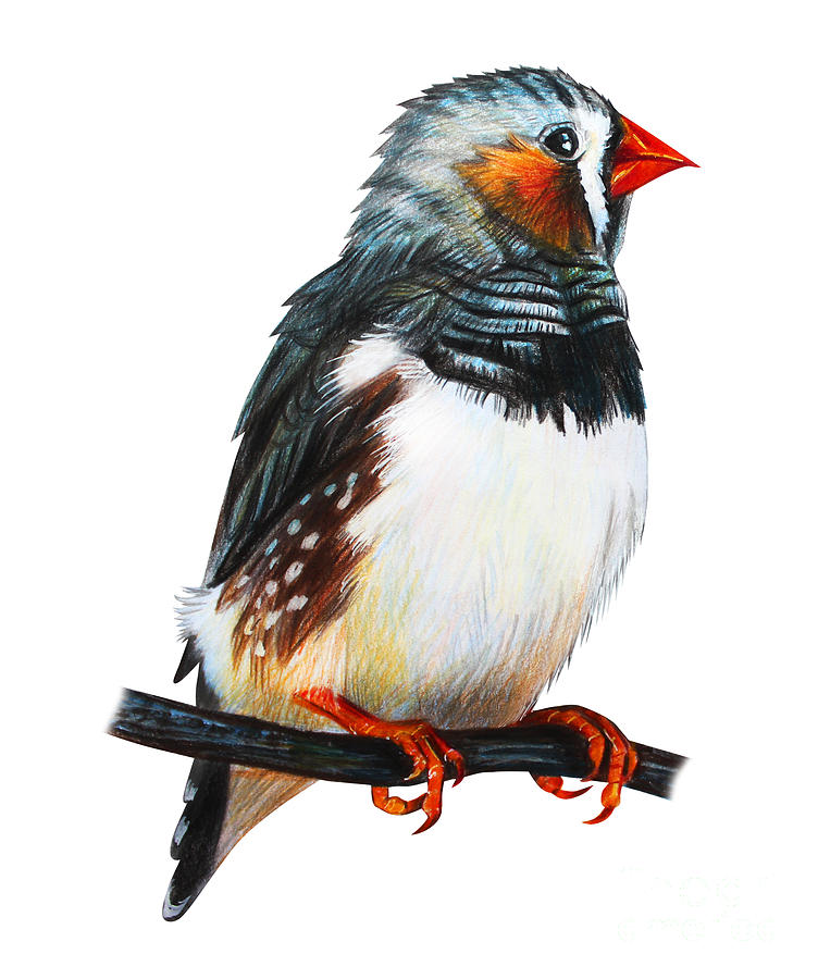 Small Digital Art - Finches Bird Drawing Taeniopygia Guttata by Viktoriya art