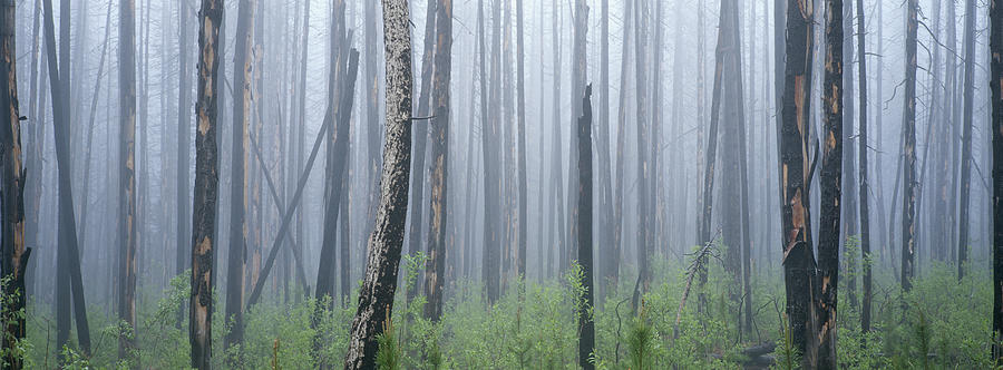 Fire Damaged Forest And Understory Photograph by Art Wolfe