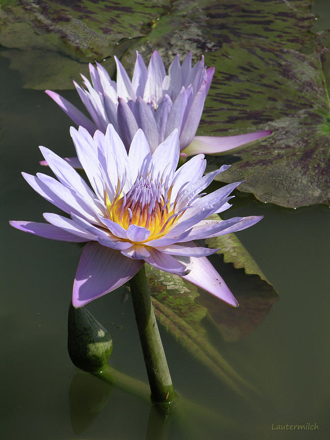 Water Lily Photograph - Fire in the Heart by John Lautermilch