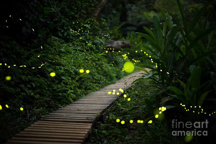 Country Photograph - Fireflies In The Bush At Night In Taiwan by Richie Chan