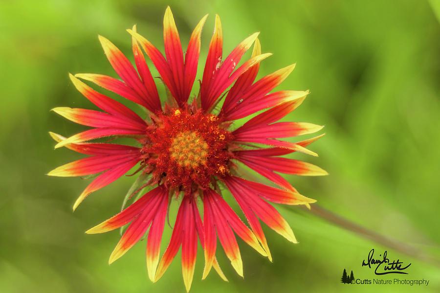 Firewheel by David Cutts