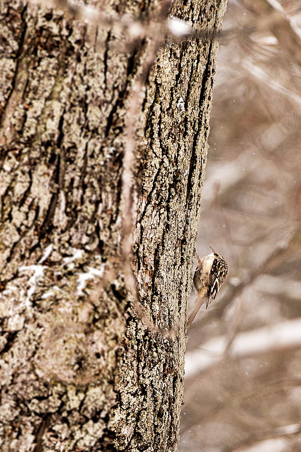 First Brown Creeper by onyonet  photo studios
