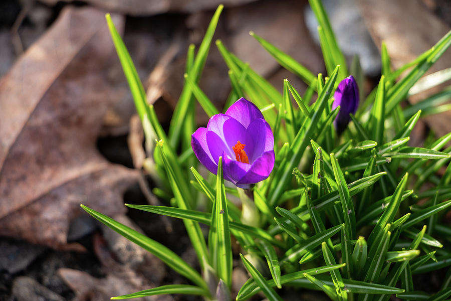Croci Photograph - First Crocus of 2019 by Jeff Severson