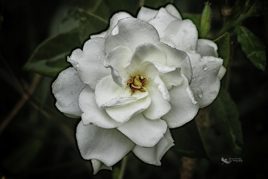 First Gardenia of the Season by Denise Winship