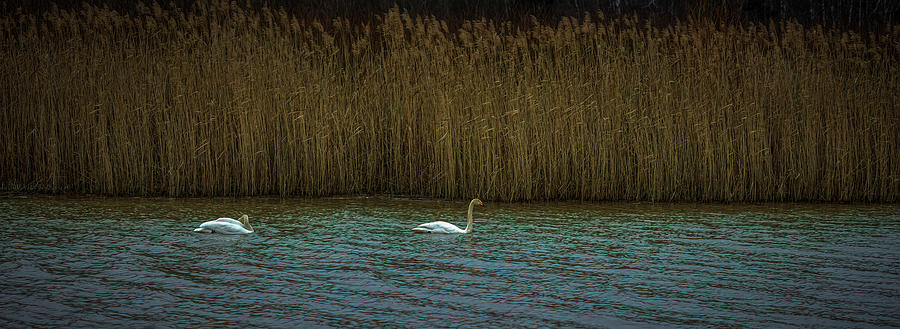 First swans 2019 #i5 by Leif Sohlman