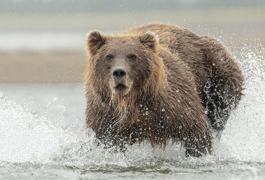 Alaska Photograph - Fish Coastal Brown Bear Of Alaska by Thomas Major