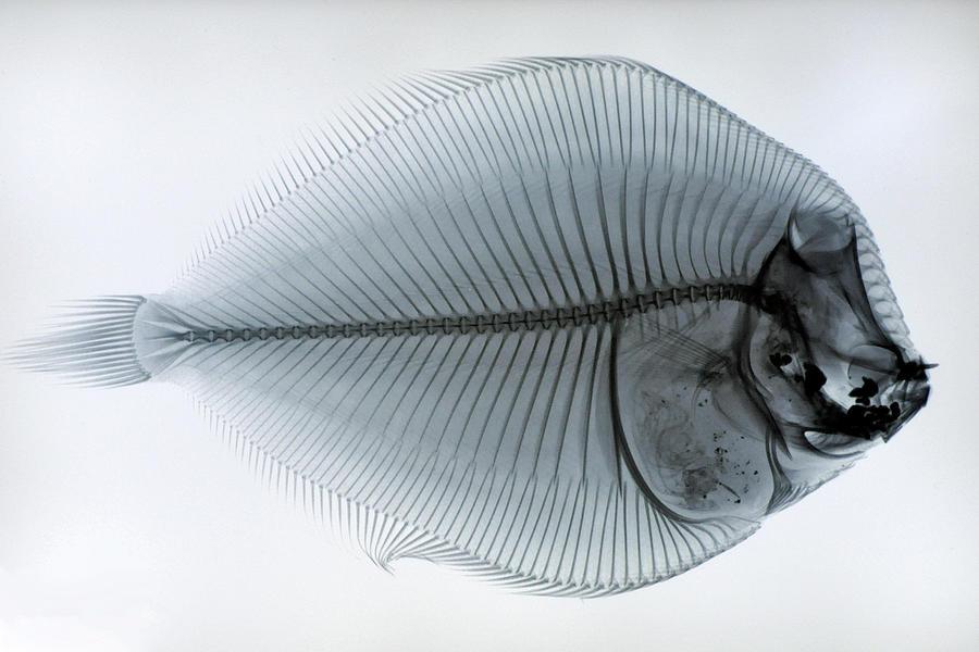 Fish Skeleton Photograph by @niladri Nath