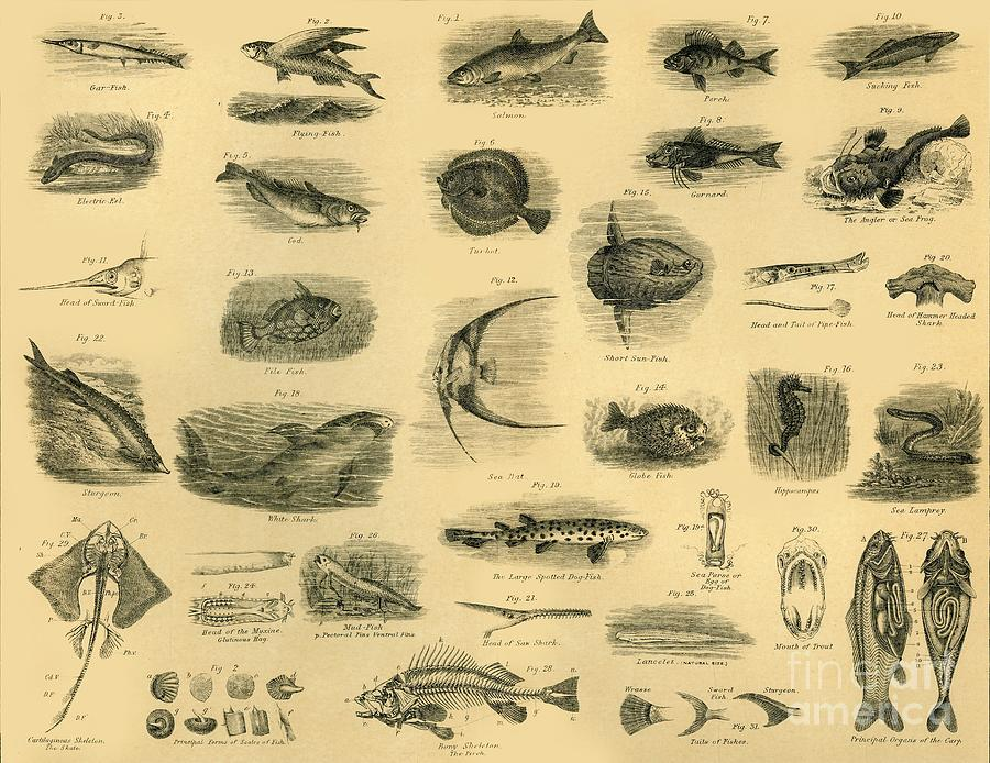 Fishes Drawing by Print Collector