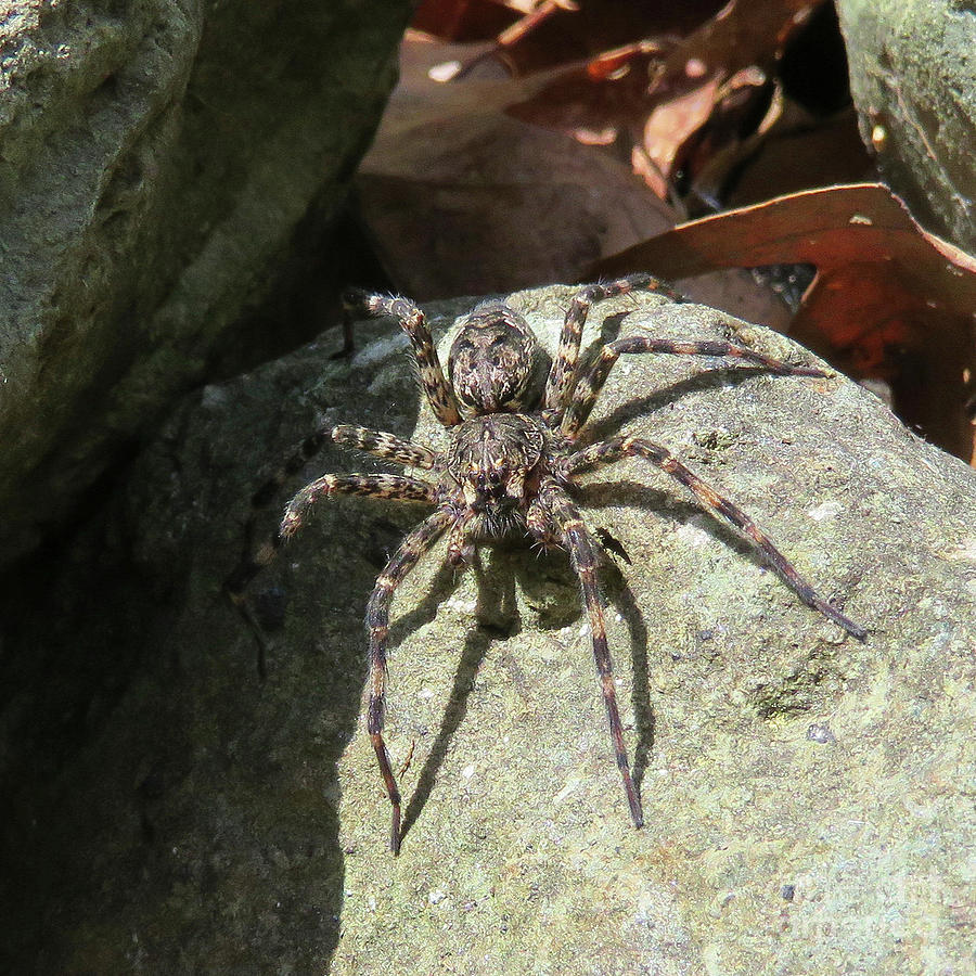 Fishing Spider by Amy E Fraser