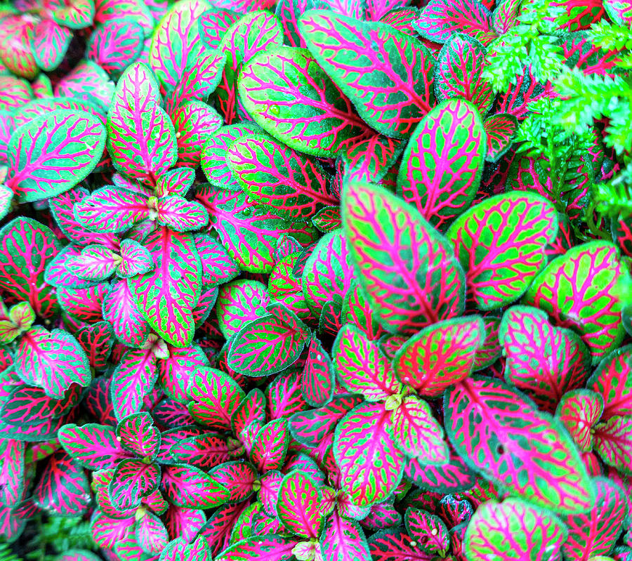 Fittonia Nerve Plant by Karen and Phil Rispin