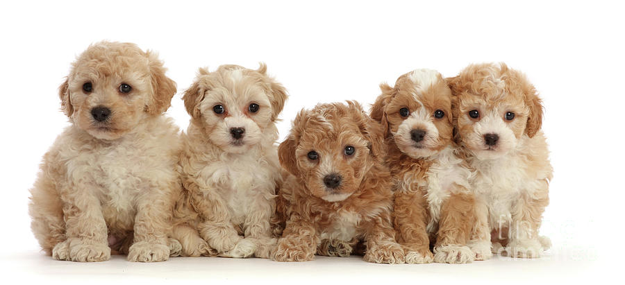 Five Cavapoochon puppies by Warren Photographic