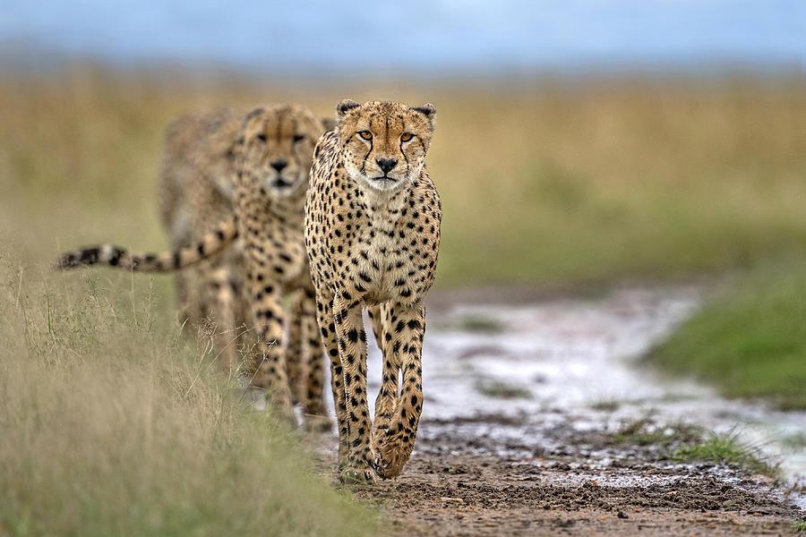 Africa Photograph - Five Cheetahs Coalition by Xavier Ortega