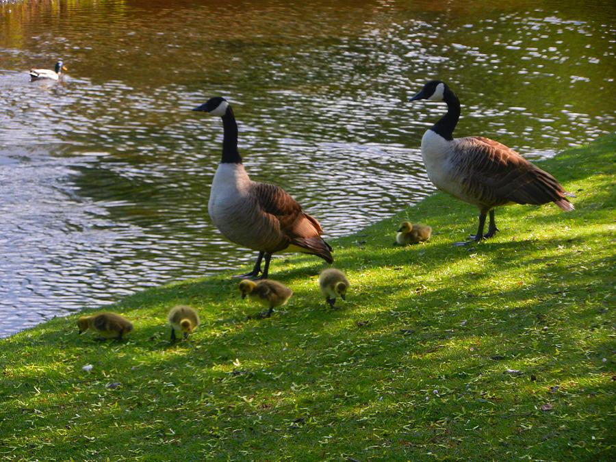 Nikon Photograph - Five Goslings by Nik Watt