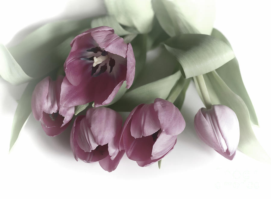 Five Pink Tulips Photograph