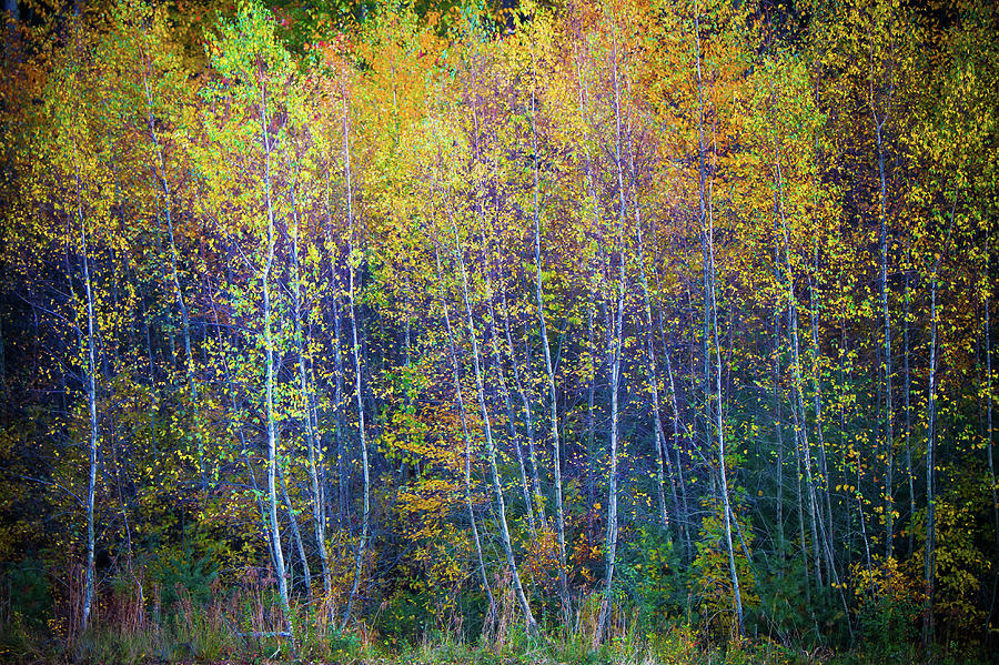 Flaming Aspens by Steven David Roberts