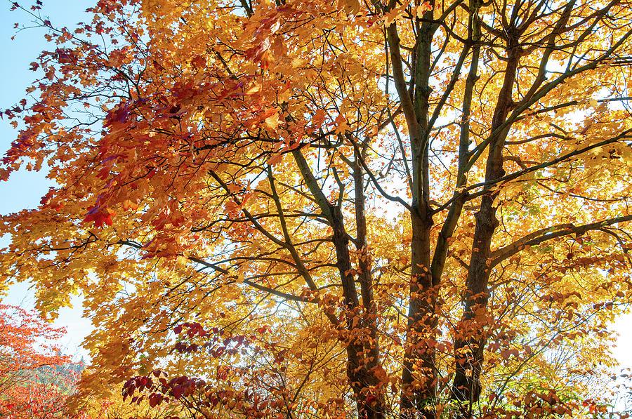 Flaming Foliage of Acer Palmatum Tree by Jenny Rainbow