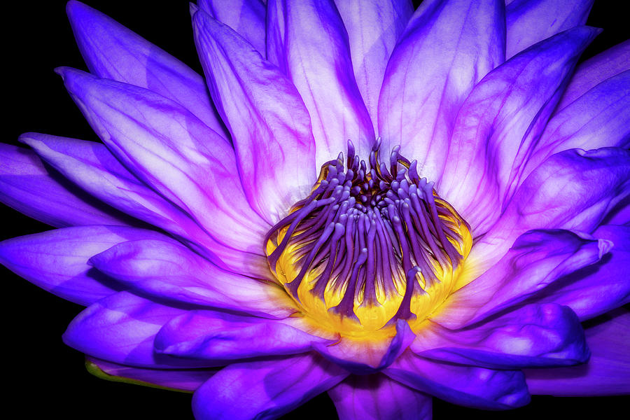 Flaming Heart Waterlily by Susan Candelario