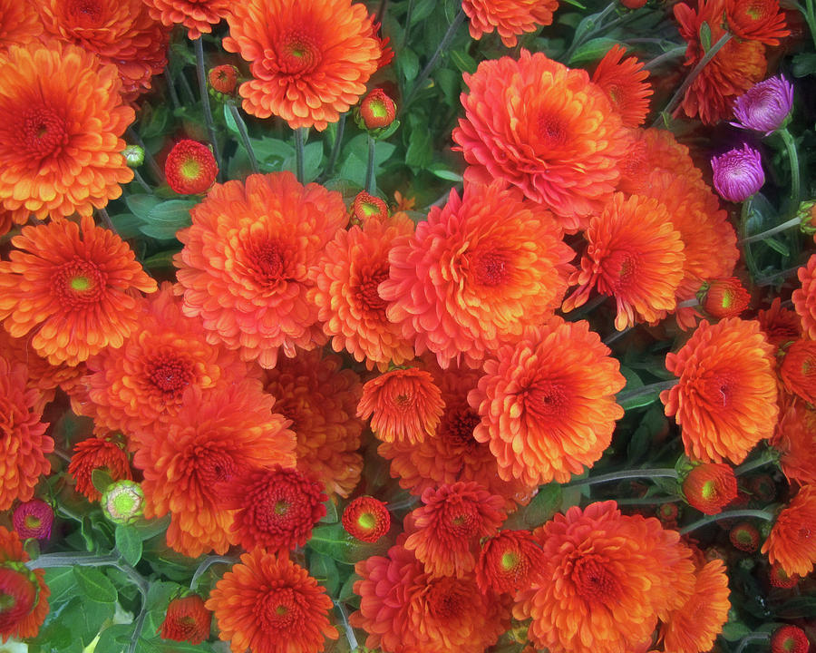 Flaming Mums 3  by Lynda Lehmann