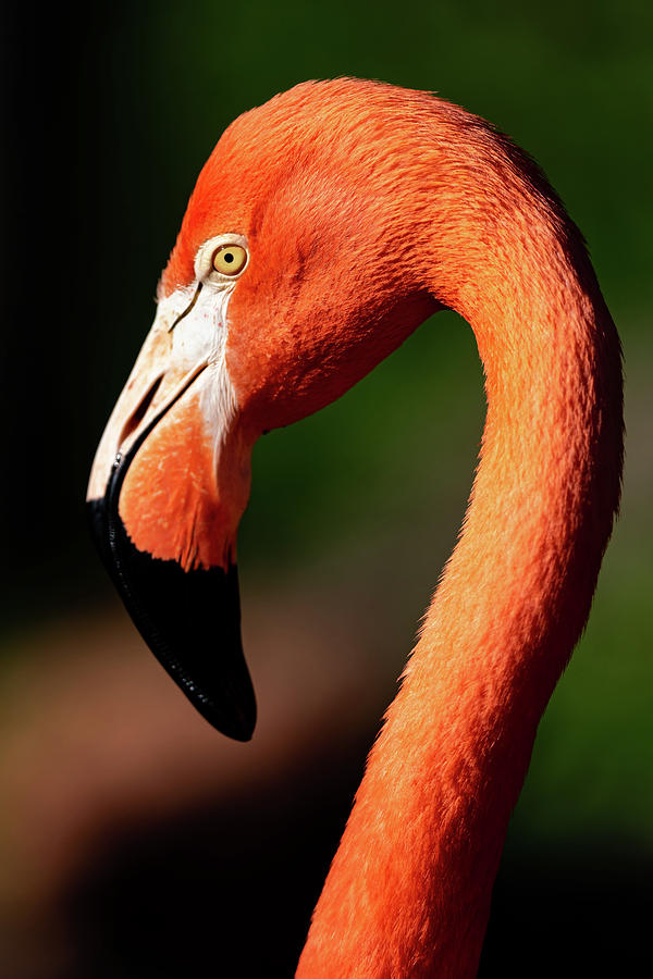 Flamingo #1 by Don Risi