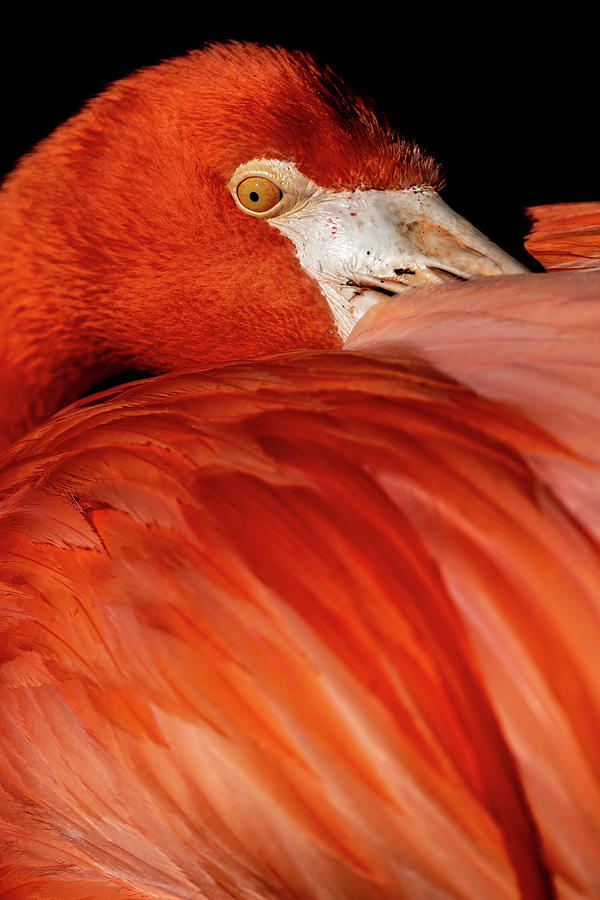 Flamingo #2 by Don Risi