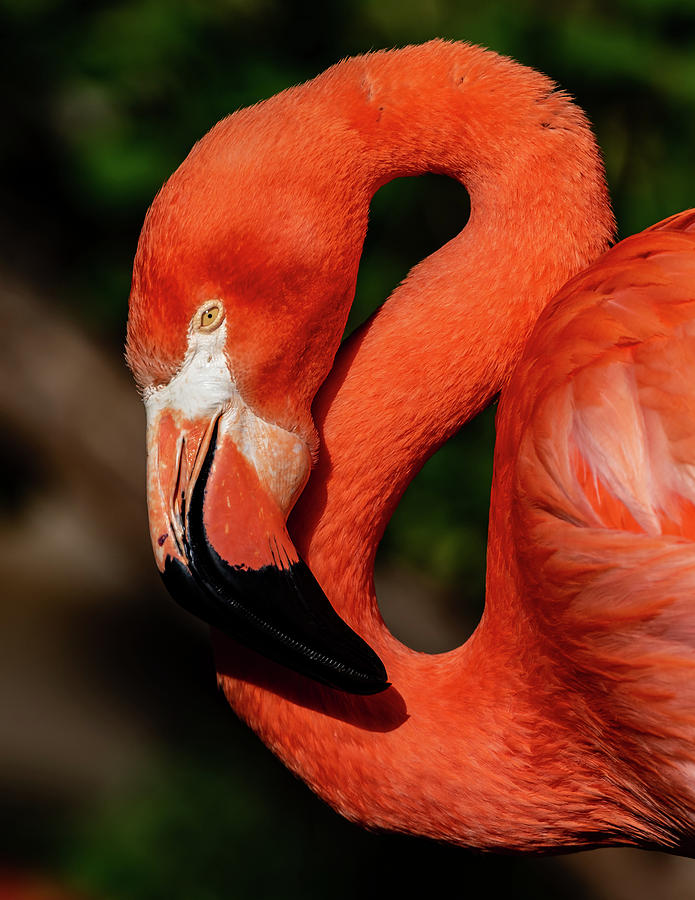 Flamingo #3 by Don Risi