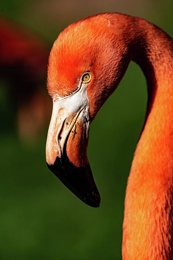 Flamingo #5 by Don Risi