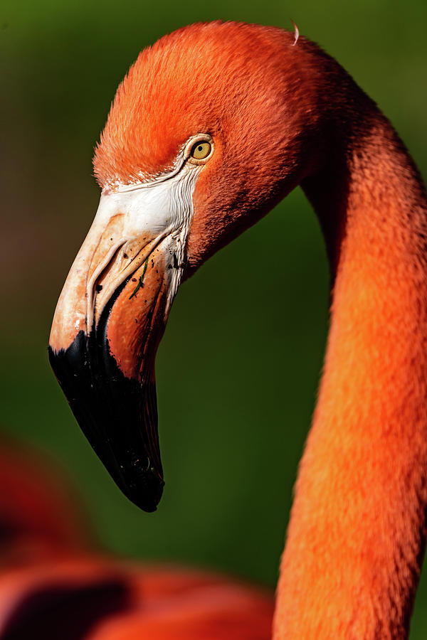 Flamingo #6 by Don Risi