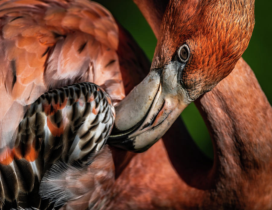 Flamingo #9 by Don Risi