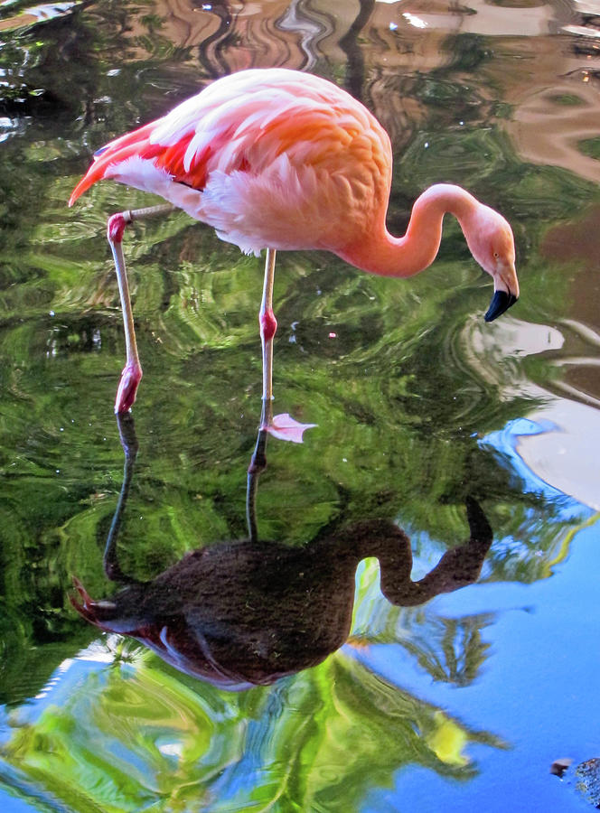 Flamingo Photograph by B. Kim Barnes; Oakland, California