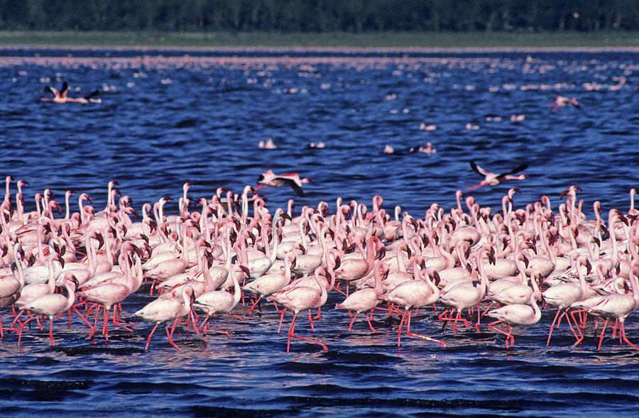 Flamingo Colony Photograph by Nature/uig