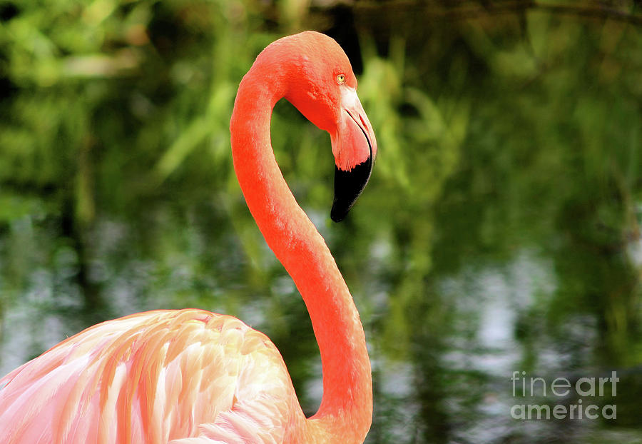 Flamingo by Elaine Manley