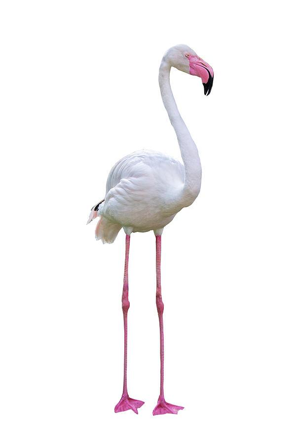 Flamingo Photograph - Flamingo Facing Side Extracted by Susan Schmitz