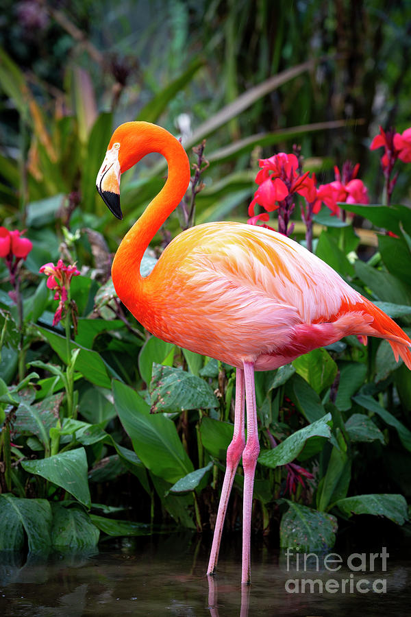 Flamingo III by Brian Jannsen