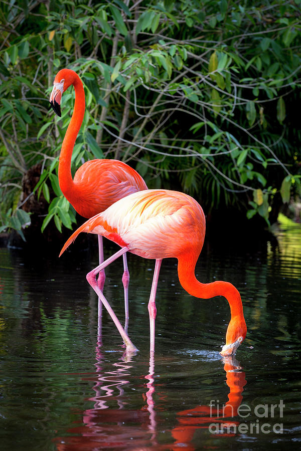 Flamingo Pair by Brian Jannsen