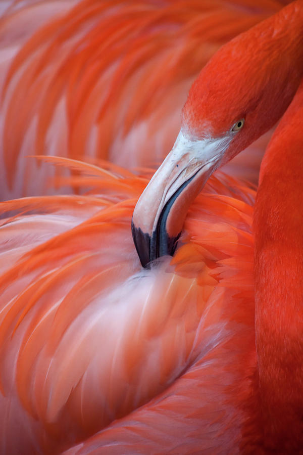 Flamingo Photograph by Phil Corley   Goldenorfephotography