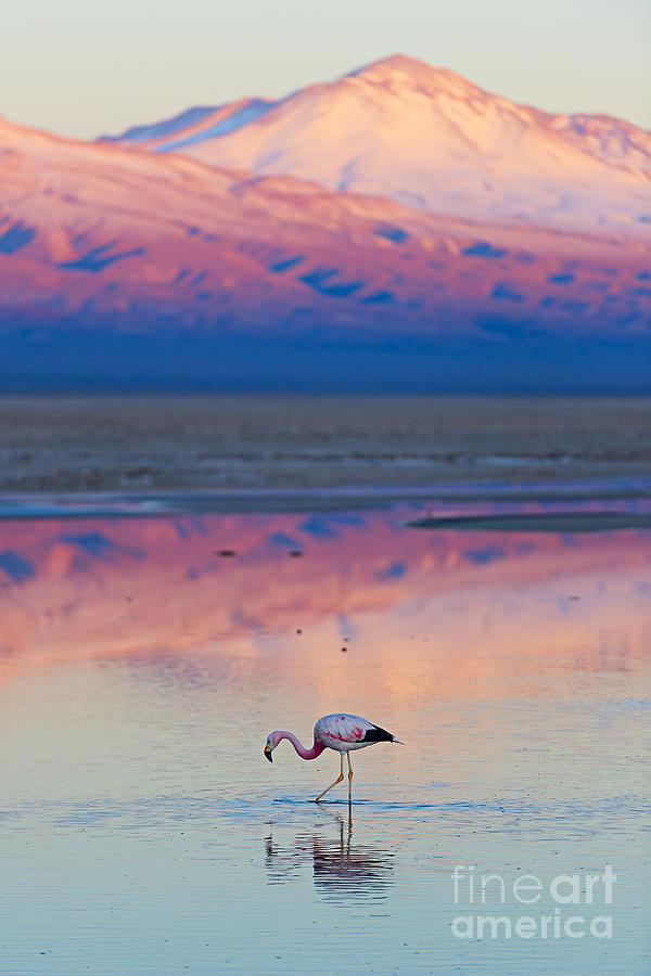 Feather Photograph - Flamingo, Pink Sunset Above Atacama by Longtaildog
