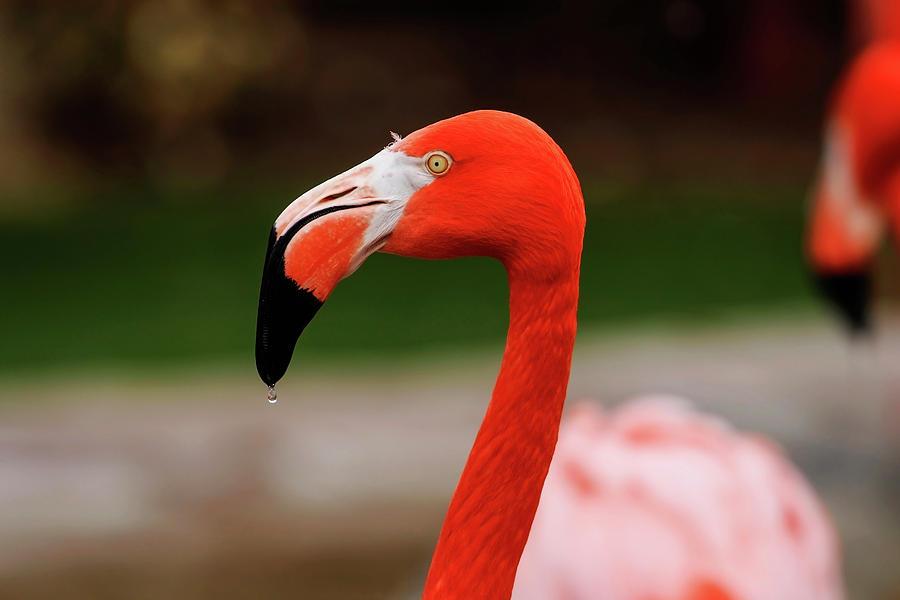 Flamingo Portrai by Jake Danishevsky