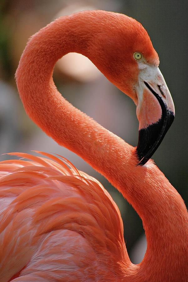 Flamingo Portrait Photograph by S. Greg Panosian