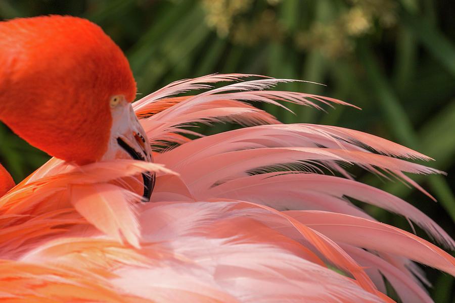 Flamingo Preening by Dorothy Cunningham